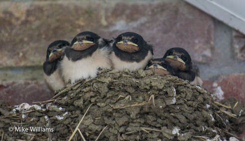 Baby swallows photo